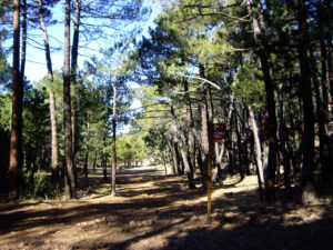 Hermosos pinares de Pino Pinaster