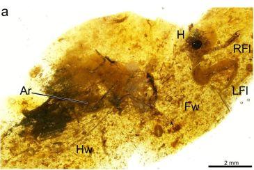 Noticia Diario de Teruel: Hallan en Utrillas un insecto fosilizado con 105 millones de antigüedad