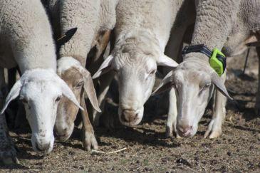 Noticia Diario de Teruel: Las ovejas de Guadalaviar llevan GPS para monitorizar el camino trashumante a Andalucía