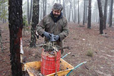 Noticia Diario de Teruel: Termina la tercera y mejor campaña de resina en Bezas con 2,5 kilos por pino